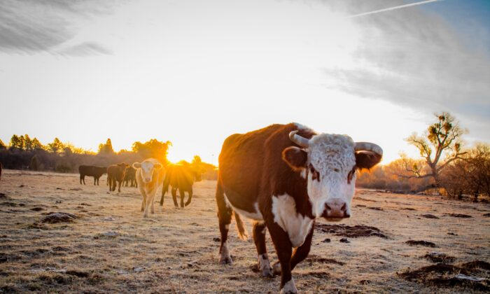 The the Arizona Grass Raised Beef Company cattle are born and raised in the Arizona sunshine and are herded by cowboys on horseback.  (Jennifer Schneider)