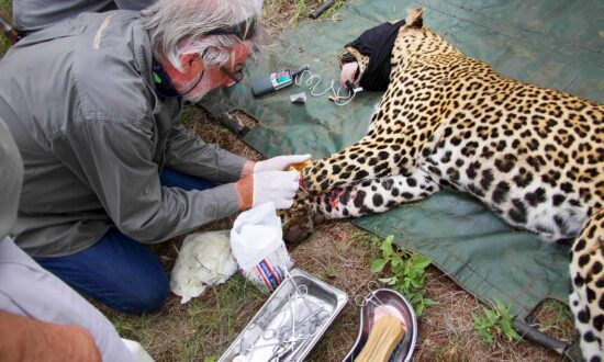Leopard's Leg Gets Injured in a Snare–Then Rescuers Save Him, and the Photos Are Incredible