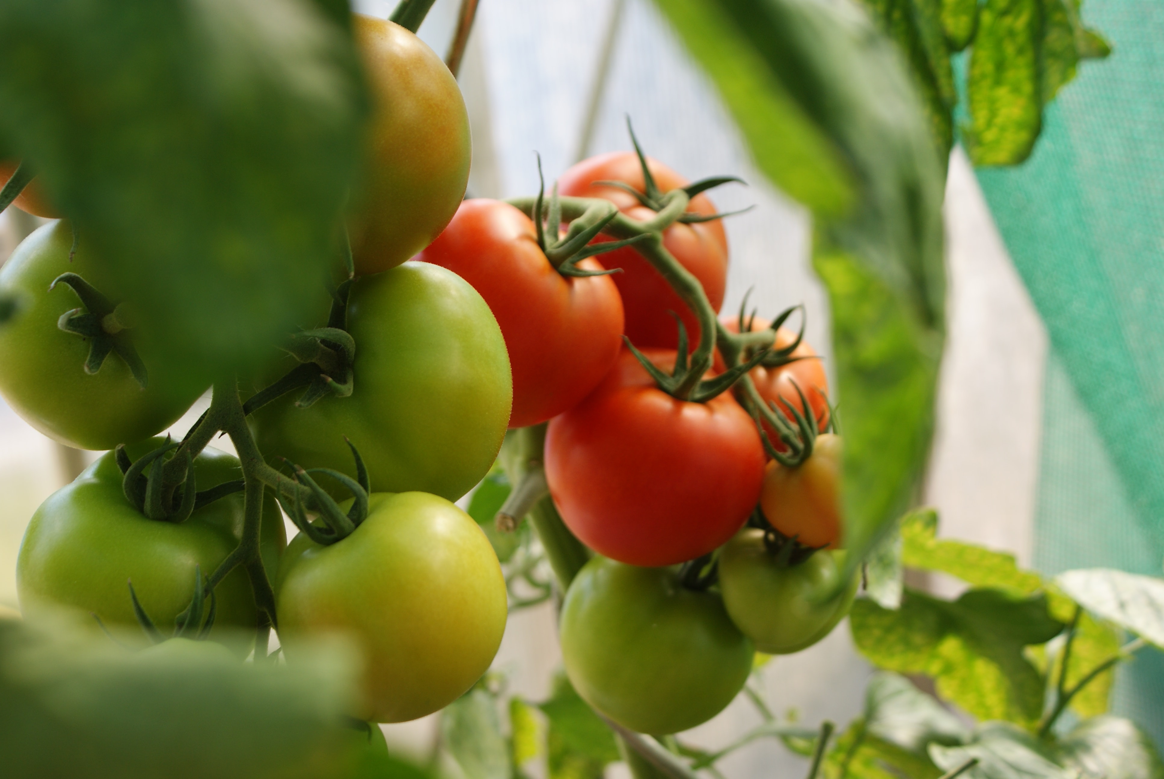 Tomatoes ripening on the vine. (Dani California)