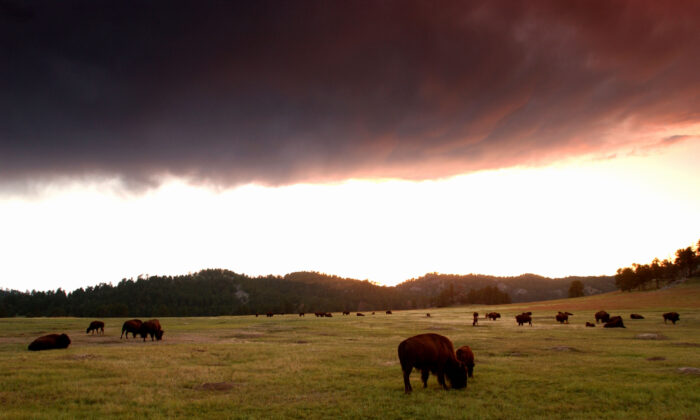 A dark cloud hovers over a herd of bison at sunset in Wind Cave National Park, in the southern Black Hills of South Dakota, in a file photo. (David McNew/Getty Images)