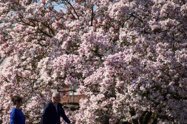 People walk by a blooming tree on a fine spring day in Stratford-upon-Avon, England