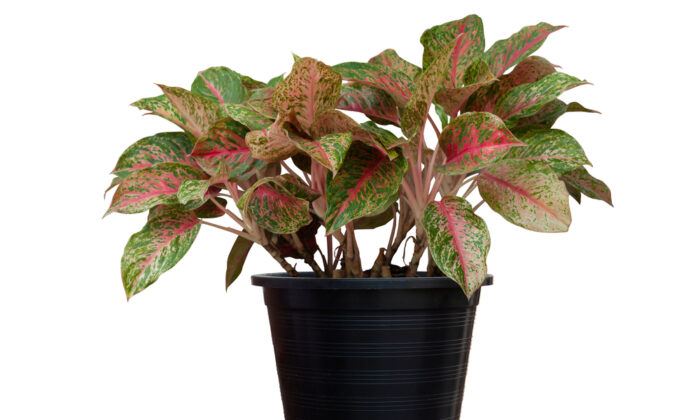 Aglaonemas are colorful houseplants of green, silver, and red that are easy to grow and almost indestructible. (TuktaBaby/Shutterstock)