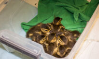 Seven Lucky Ducklings Trapped in Storm Drain Saved by Huntington Beach Firemen