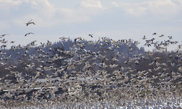 A huge flock of swans and snow geese in Skagit Valley, Wash. (Echo Liu/The Epoch Times)