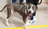 Former Stray Pit Bull Mix Receives Medal for Helping Save His Owner's Life