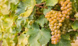 Sauvignon Blanc Whereness