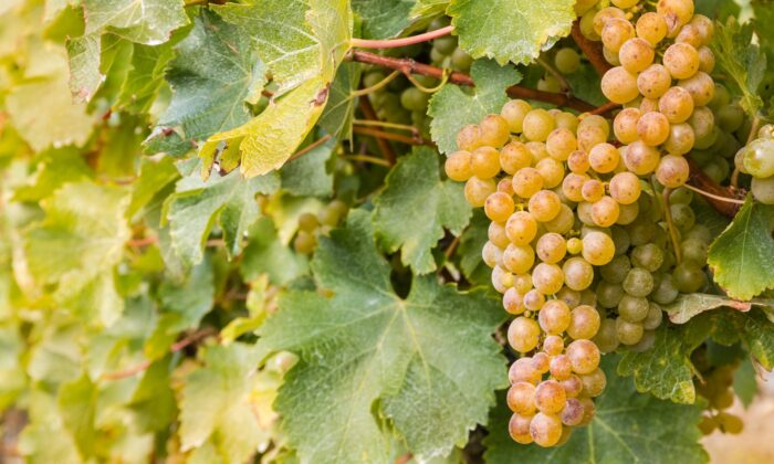 Sauvignon blanc is one of the country's most popular whites today. The problem is that it's so popular, much of it is planted in areas where it doesn't yield a distinctive wine. (patjo/shutterstock)