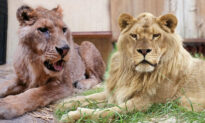 Near-Death Lion With Horrific Past Looks Like 'True King' 3 Years After Rescue: Video