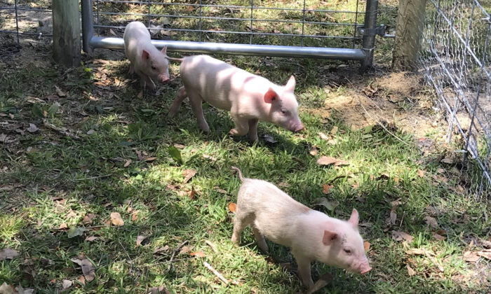 (Front to back) Smart Pig, Bertha, and Runt. (Courtesy of John Falce)
