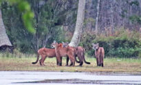 Photographer Was 'Shaking From Excitement' After Spotting 5 Elusive Florida Panthers in a Day