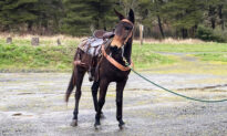 Mule Leads Hikers to Injured 60-Year-Old Owner Who Fell Off During Trail Ride