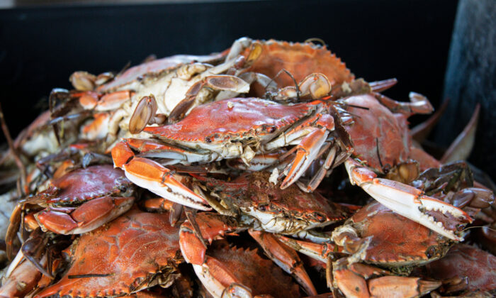 Steamed Maryland crabs. (Leslie Billman/Shutterstock)