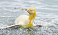 Wildlife Photographer Captures Photos of a Rare Yellow Penguin Among Colony in South Georgia