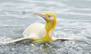 Wildlife Photographer Captures Photos of a Rare Yellow Penguin Among Colony in South Georgia
