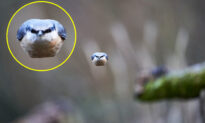 Photographer Snaps Real Life 'Angry Bird' Hurtling Like a Bullet Toward the Camera