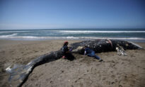 4 Dead Whales Wash Ashore on San Francisco Bay Area Beaches