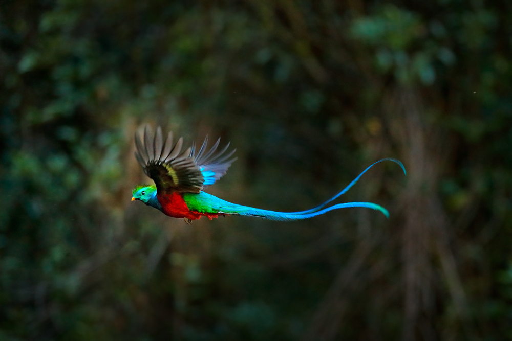 Flying,Resplendent,Quetzal,,Pharomachrus,Mocinno,,Costa,Rica,,With,Green,Forest