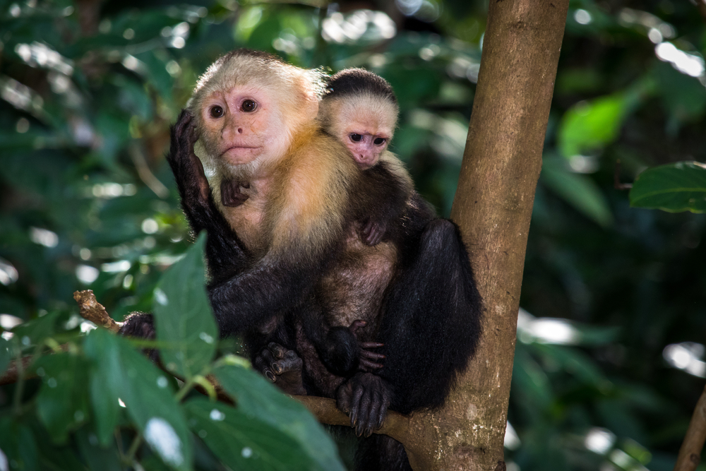 Endemic,Monkeys,Of,Coiba,National,Park.,Panama,,Central,America.