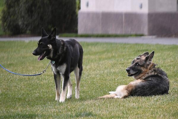 Biden dogs