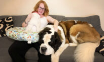 Massive 160lb Saint Bernard Named Hercules Thinks He's a Lapdog and Squashes Owners' Guests