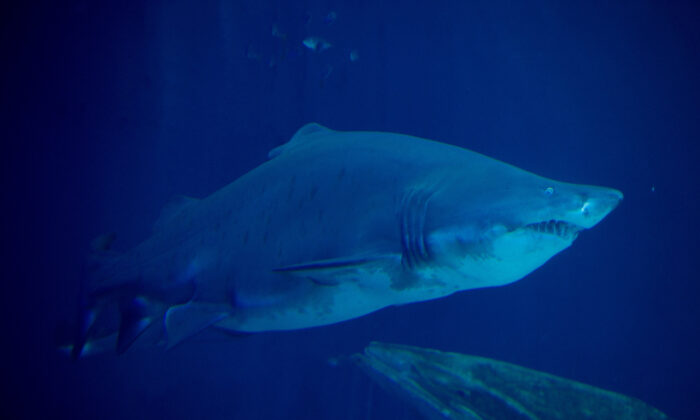 A sand tiger shark in a stock photo. (Stefan Sauer/DPA/AFP via Getty Images)