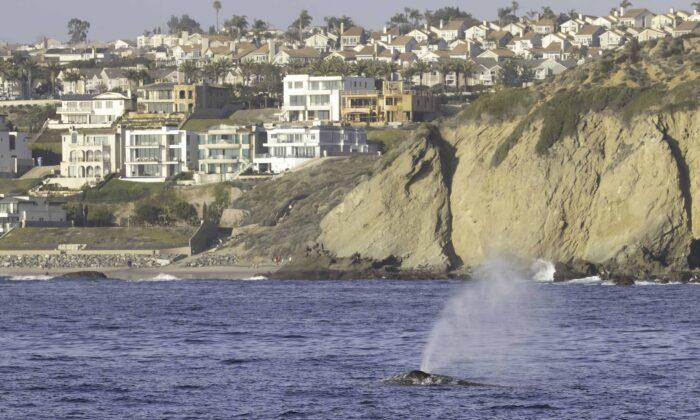 A gray whale swims off Dana Point, Calif. (Courtesy of Donna Kalez/Dana Wharf Sportfishing & Whale Watching)
