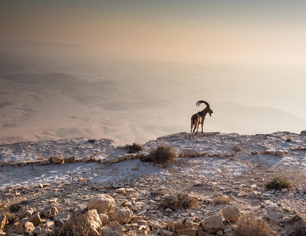 A,Fearless,Ibex,Overlooks,The,Ramon,Crater,(makhtesh,Ramon),Below