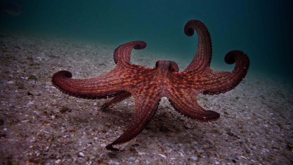 octopus on ocean floor in My Octopus Teacher