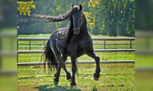Head-Turning Stallion, 'Frederik the Great,' 20, Considered the World's Most Handsome Horse