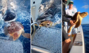 VIDEO: Fishermen Spot Sea Turtle Caught in Jaws of Tiger Shark, and Rescue It to Safety