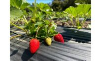 California Farmers Expect Larger Strawberry Crop This Year