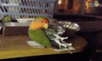 Adorable Parrot Makes Its Own Costume