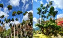 15th-Century Bonsai Trick That Grows Ultra-Straight Cedar Trees, Prevents Deforestation