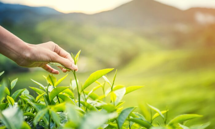 'Grain rains' is when tea growers enjoy their first harvest. these tea leaves are best suited to hydrate and prevent inflammation. (NATNN/Shutterstock)
