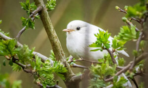 UK Photographer Spots Incredibly Rare White Robin–and the Photos Are Breathtaking