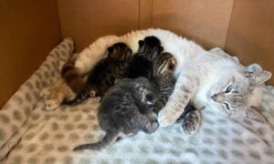 Selfless Mama Rescue Cat Adopts Abandoned Kittens Into Her Litter, Treats Them as Her Own