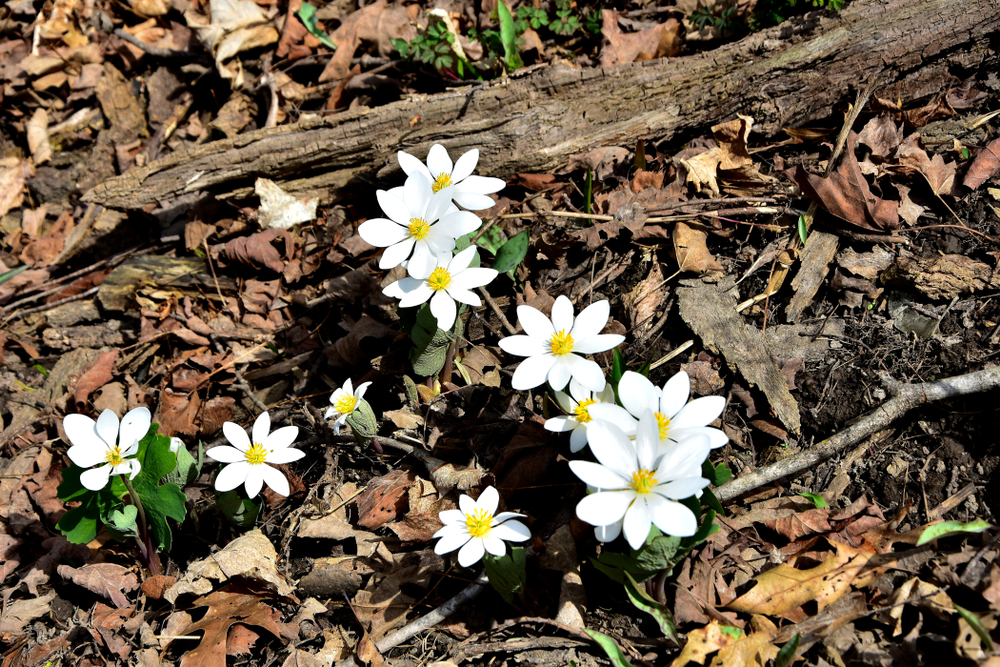Selective,Focus,On,The,Wild,Bloodroot,(sanguinaria,Canadensis),Petals,In