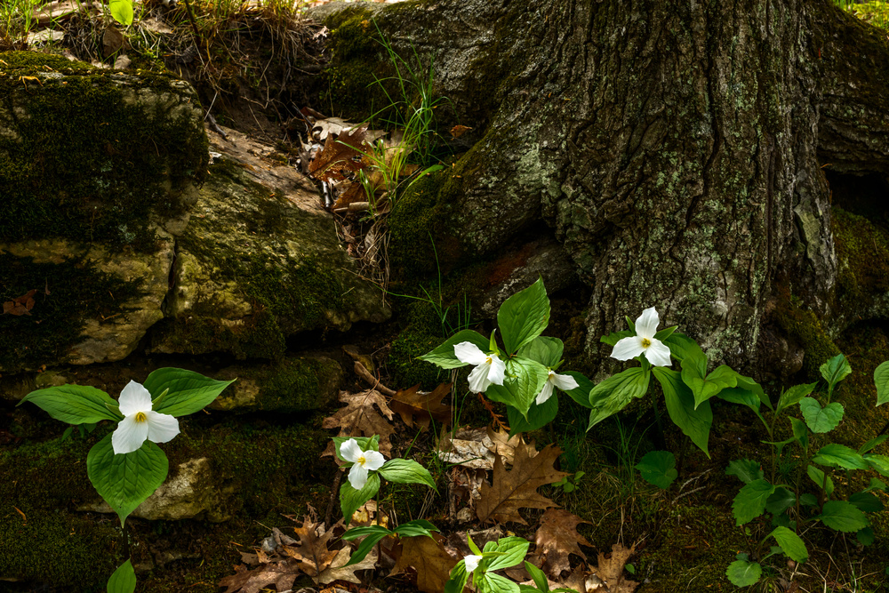 Trilliums,In,Bloom,Along,The,Eagle,Trail,In,Peninsula,State