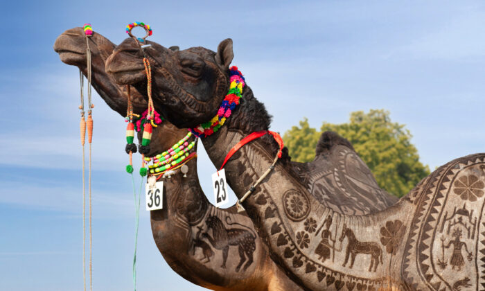 A camel at the Bikaner Camel Festival in Rajasthan, India. (Zzvet/Shutterstock)