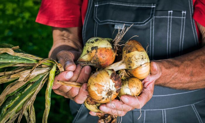 Onions are an antioxidant, anti-inflammatory, anticancer, and pro-heart powerhouse that come in various colors and types. (Fuss Sergey/Shutterstock)