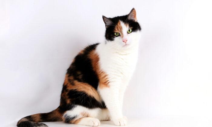 Calico cats have orange, black, and white fur. (Bianca Grueneberg/Shutterstock)