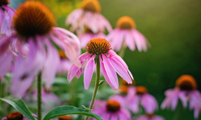 Echinacea also has many uses in the garden and as an herbal remedy. (Annemarie Gruden/Unsplash)