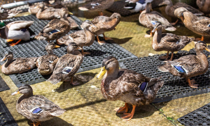 Ducks get the help they need at Wetlands and Wildlife Care Center in Huntington Beach, Calif., on May 4, 2021. (John Fredricks/The Epoch Times)