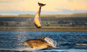 Stunning Pictures Show a Pair of Dolphins Performing Acrobatic Moves off the Scottish Coast