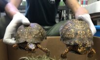 Chinese Man Pleads Guilty for Role in Scheme to Smuggle Endangered Turtles to China