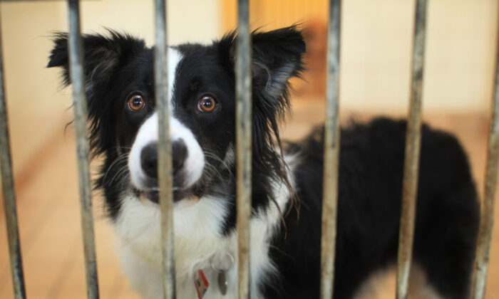 Max, a two-year-old border collie, waits to be re-homed at the Cheshire Dogs Home in Warrington, England, on Jan. 4, 2010. (Christopher Furlong/Getty Images)