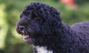 Obama Dog Bo Dies From Cancer