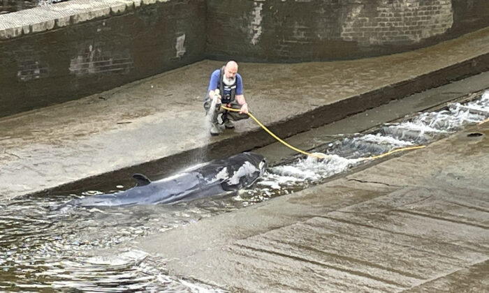 A small whale, believed to be a Minke whale, being hosed down after it stranded at Richmond Lock and Weir on Sunday along the River Thames in southwest London, on May 9, 2021. (Jake Manketo/PA Media)