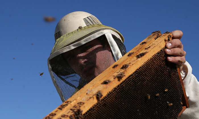 Jordan Erickson with Gene Brandi Apiaries inspects a beehive in Los Banos, Calif., on Sept. 5, 2014. (Justin Sullivan/Getty Images)