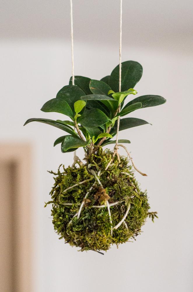 Ficus,Microcarpa,As,Hanging,Kokedama,Plant